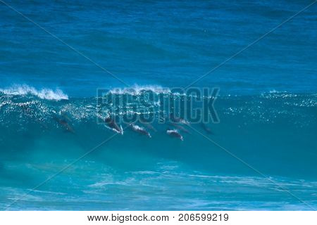 A pod of dolphins at play in the Australian surf