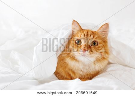 Cute ginger cat lies on bed. The fluffy pet comfortably hid under a blanket to sleep or to play. Cute cozy background morning warm bedtime at home