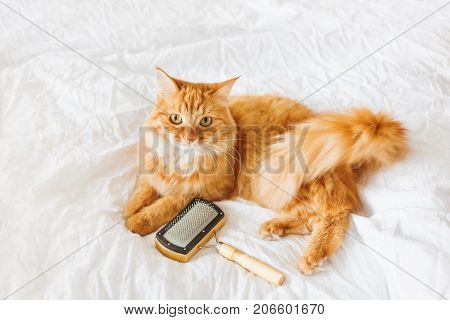 Cute ginger cat lies on bed with grooming comb. The fluffy pet comfortably settled on white sheet. Cute cozy background morning bedtime at home.