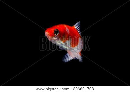 Koi Fish Isolated On Black Background