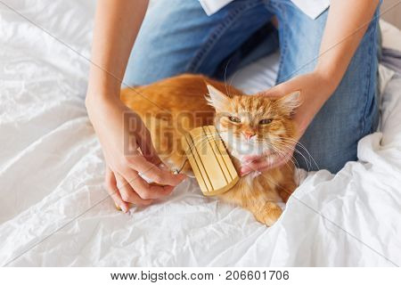 Woman combs a dozing ginger cat's fur. The fluffy pet comfortably settled to sleep. Cute cozy background morning bedtime at home.
