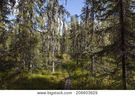 Trees with lichen in a primeval forest, late seral forest. Path and signs.