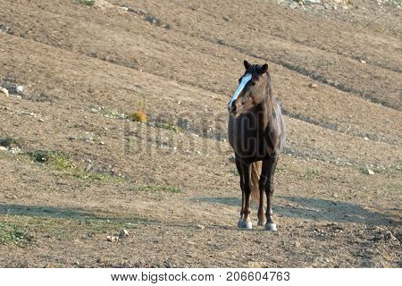 Chestnut Bay Wild Horse Mustang Stallion At Watering Hole In The Pryor Mountains Wild Horse Range In