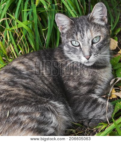 A gray cat lies on the ground. Cat on a background of green grass
