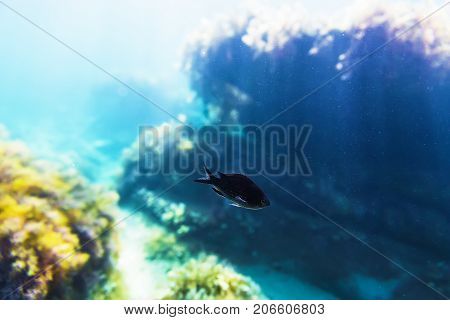 Fish in sea. Beautiful black fish and rocks at background in underwater.