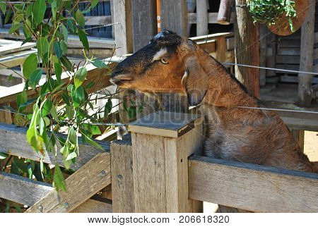 Brown domestic goat eating leaves in a stall on a farm