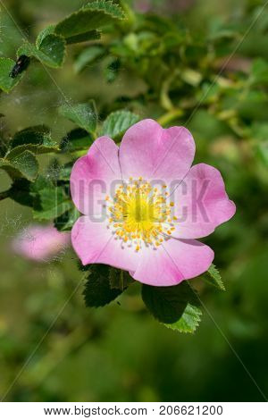 Wild rose flowers and leaves closeup background