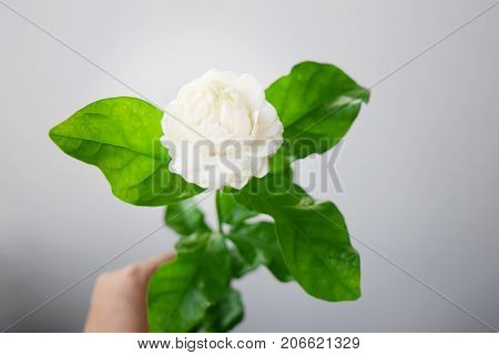 White flower have soft petals Jasminum sambac in scientific name and space for text. - Tropical Asia flower