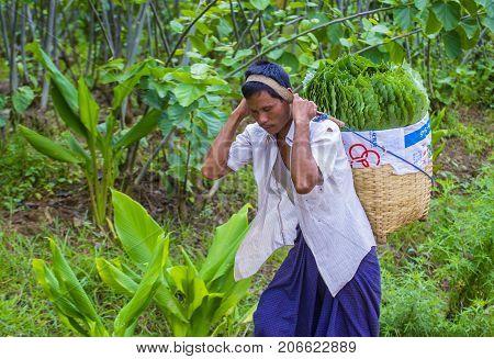 SHAN STATE MYANMAR - SEP 06: Burmese farmer working on a field in Shan state Myanmar on September 06 2017 agriculture is the main industry in Myanmar