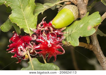 Red galls developed by a wasp larva for protection on oak leaves.