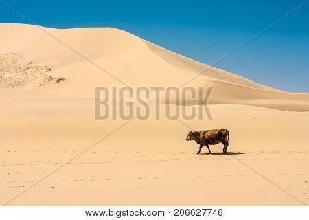cow walking on hot sand of beautiful sunlit desert