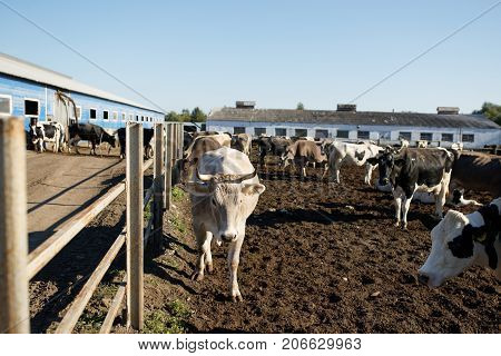 Cows in a farm. Dairy cows in a farm.