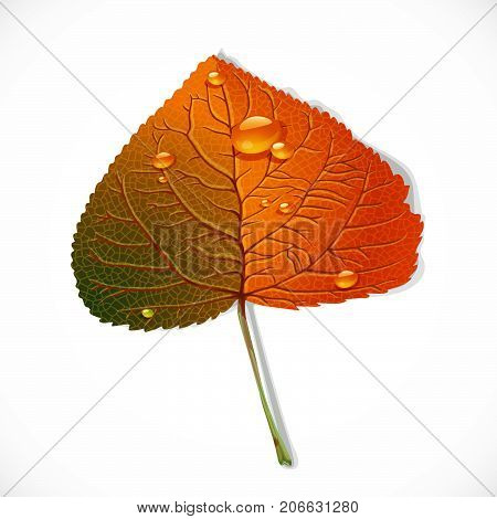 Autumn Poplar Leaf Isolated On A White Background