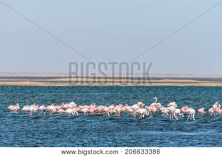Flocks of lesser and greater flamingos feeding in the lagoon at Walvis Bay in the Namib Desert on the Atlantic Coast of Namibia