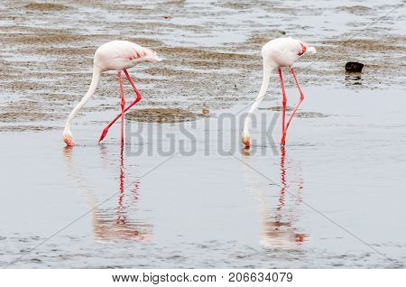 Two Greater Flamingos Phoenicopterus ruber roseus feeding in the lagoon at Walvis Bay in the Namib Desert on the Atlantic Coast of Namibia