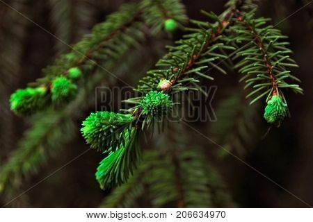 Sprig Of Pine. Green Color. Close-up. A Saturated Green Color. Spring In The Forest