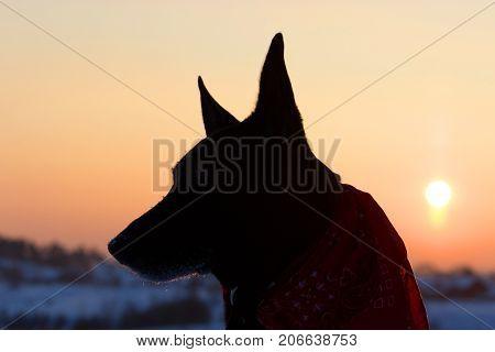Dog Back Light Silhouette In Sunset