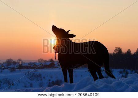 Dog back light silhouette in sunset. sunny winter evening