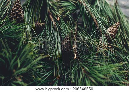 Christmas Tree Branches With Pine Cones On Rustic Background Top View, Space For Text. Stylish Xmas