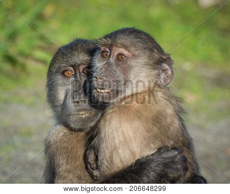 A pair of Chacma Baboon family members hugging each other near Cape Town, South Africa.