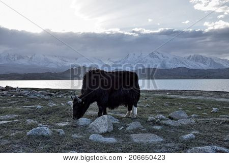 The wild yak in front of Karakul Lake in Xinjiang Uighur Autonomous Region of China with Muztagh Ata hill, the second highest of the Kunlun mountains, in the background.