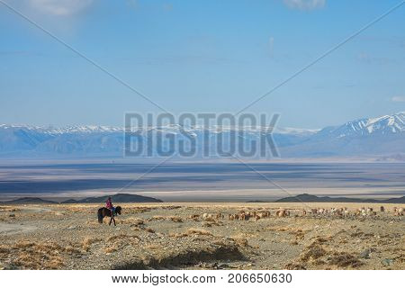 asian shepherd Girl on horse shepherding herd of sheep in prairie at sunny day
