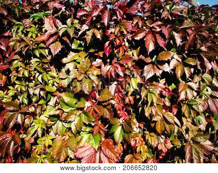 beautiful red leaves against a background of green vegetation in clear weather