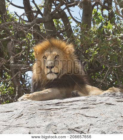 The attitude of king of jungle on a throne in Serengeti national park