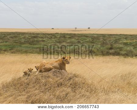A lioness with her cubs scanning the vast grassland
