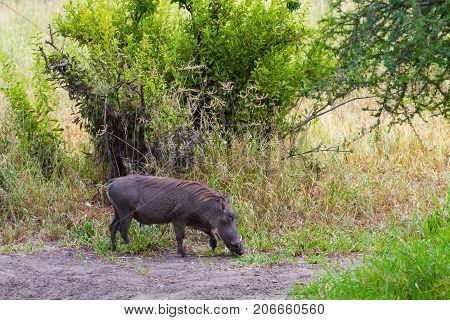 Warthog in the Tarangire. Tanzania. Eastest Africa