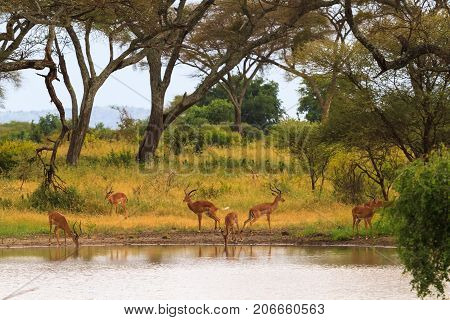 Antelope at the watering place. Small pond in savanna. Tanzania, Africa
