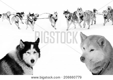 Sled dogs in harness isolated on white. Northern huskies - hardy and strong. Team Husky sled in the winter.