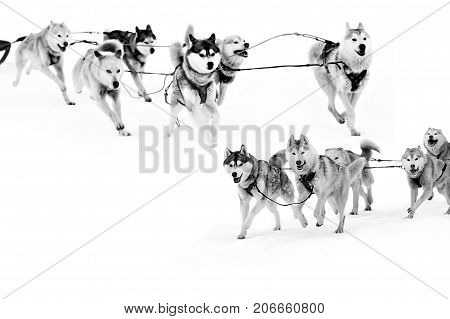 Sled dogs in harness isolated on white, northern huskies - hardy and strong. Team Husky sled in the winter.