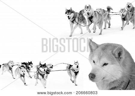 Sled dogs isolated on white. Northern huskies - hardy and strong. Team Husky sled in the winter.