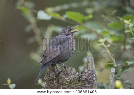 Blackbird, Male, On Top Of A Tree Stump, Tweeting
