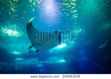 Undersea marine life. Prospective view of a large Manta Ray swimming under blue ocean. Seabed blue background.