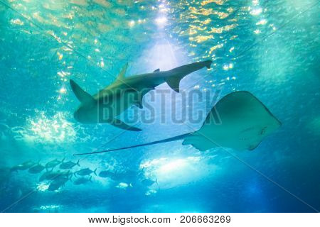 Bottom view of a Big Shark and Sting Ray or Myliobatis aquila, swimming under blue ocean. Underwater blue background. Undersea marine life.