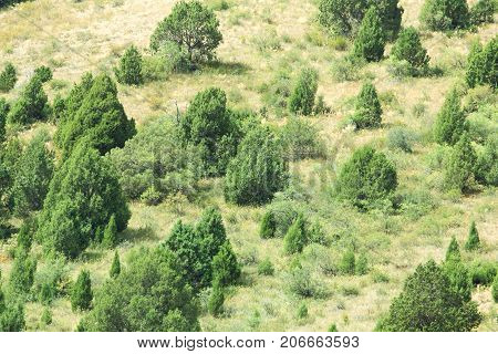 coniferous trees on a hillside . In the park in nature