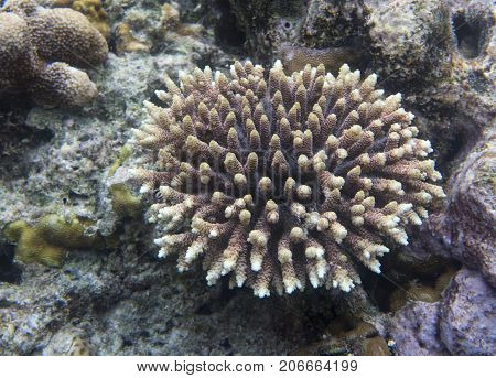 Acropora coral in Togian islands in Indoensia