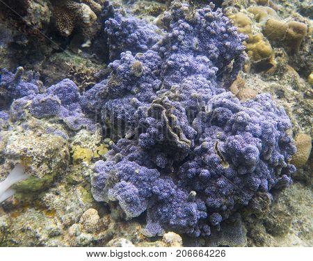 Encrusting Blue Coral