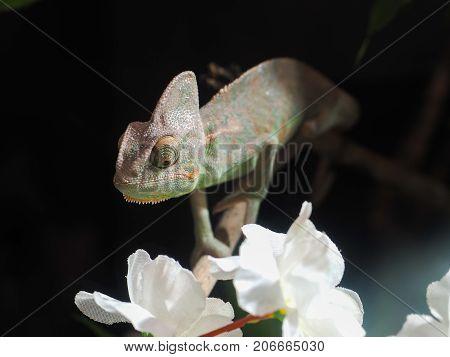 Portrait of a sad chameleon among white flowers