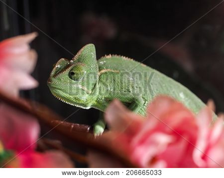 Portrait of a green chameleon among pink flowers