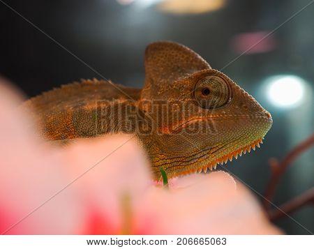 Portrait of a red-gold chameleon. Macro, wildlife