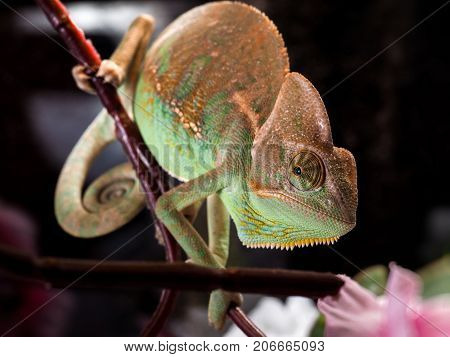 Portrait of a beautiful chameleon with a comb and goiter