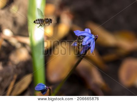 Scilla flower and bees blue spring forest close up background