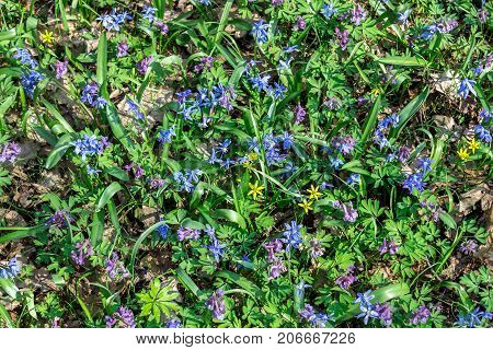Glade with spring flowers texture background scilla corydalis
