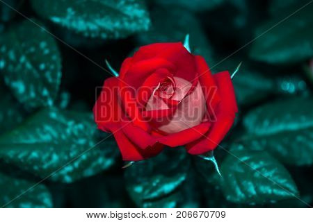 Two-colored rose flower red white summer flowerbed close up