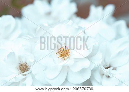 Rose flower white summer flowerbed close up