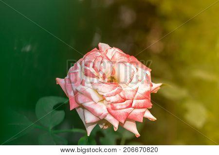 Rose flower pink summer flowerbed close up