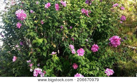 Oleander shrub pink flowers , floral, nerium, tree, natural